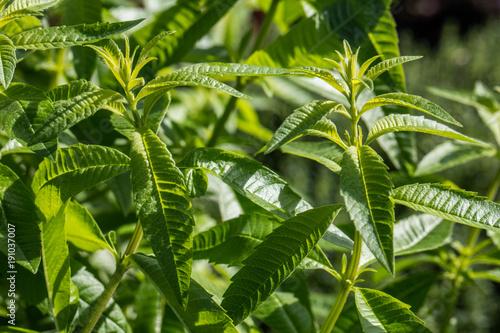 twigs of lemon verbena for aromatic gardens, sunny daylight