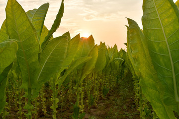 tobacco field in sunset background