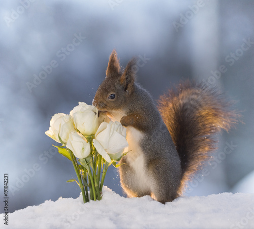 red-squirrel-in-snow-is-smelling-white-roses