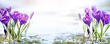 Crocus flower in sonw - 191042400