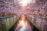 Cherry blossom at Meguro Canal in Tokyo, Japan