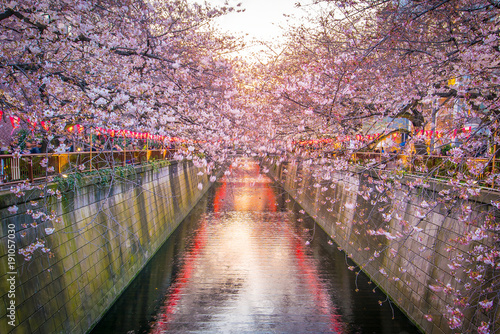 Foto op Canvas Tokio Cherry blossom at Meguro Canal in Tokyo, Japan