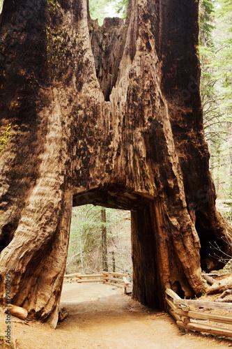 Fotobehang Chocoladebruin The giant sequoia.