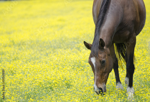 Aluminium Paarden Yellow field and horse eating