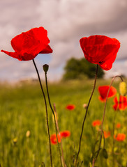 two poppies close-up in summer field