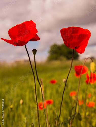 Fotobehang Klaprozen two poppies close-up in summer field