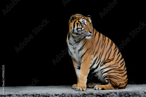 Keuken foto achterwand Panter Close-up bengal tiger and black background.