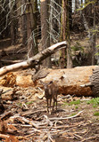 The deer in Yosemite forest. - 191076631