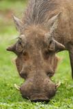 Warthog, Phacochoerus africanus, Addo Elephant Park, South Africa - 191077874