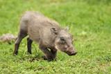 Warthog, Phacochoerus africanus, Addo Elephant Park, South Africa - 191078041