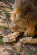 Gros plan sur le Lion dans un parc zoologique