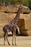 girafe - 191090655