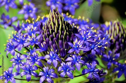 Foto op Canvas Lavendel Esprit fleur bleue