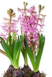 flowers of hyacinth pink color, messenger spring - 191097639