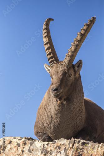 Bouquetin adulte mâle (Capra ibex), Alpes-de-Haute-Provence Poster