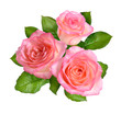 Composition of Pink rose flowers. Isolated on white background