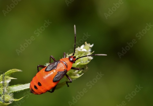 An orange-colored Milkweed bug (Oncopeltus fasciatus) on a budding stem in the Springtime. This one is a nymph and has some growing to do to reach adulthood.