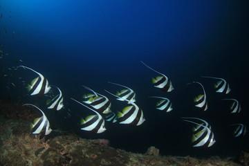 Schooling Bannerfish fish