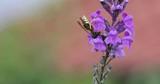 Bee Gathers Pollen From a Purple WildFlower - 191124487