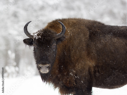Aluminium Bison One bison standing in the woods during a snowfall. Russia, Kaluga region.