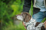 Older German Shorthair Pointer dog outdoor portrait with man holding and petting - 191147063