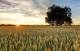 Panorama of wheat fi...
