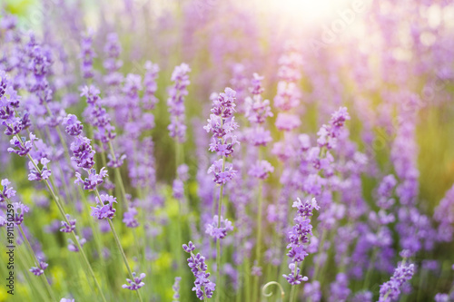 Aluminium Lichtroze Lavender bushes closeup on sunset. Sunset gleam over purple flowers of lavender. Lavender herbals and sun light on the left. Provence region of france.