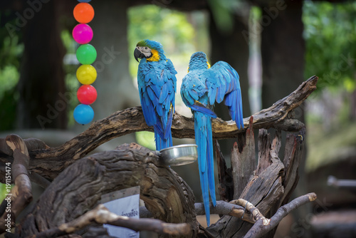 Fotobehang Pauw two parrots stick on branch