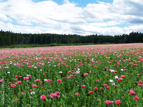 Fotobehang Klaprozen Flower field landscape