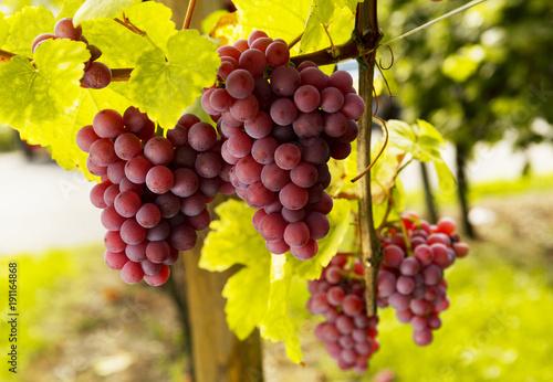 Aluminium Wijngaard grape