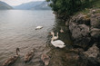 beautiful swans floating in mountain lake, Bern, Switzerland - 191170458