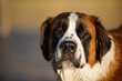 Saint Bernard dog outdoor portrait