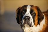 Saint Bernard dog ou...