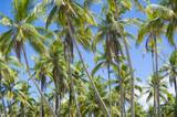 Scenic view of palm grove plantation on the tropical coast of Bahia, Brazil