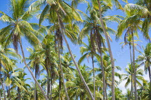 Fotobehang Landschappen Scenic view of palm grove plantation on the tropical coast of Bahia, Brazil