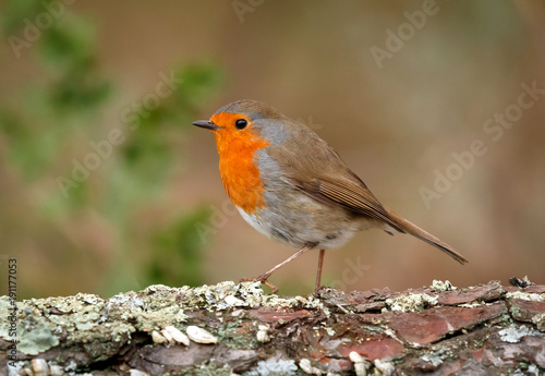 Foto op Aluminium Natuur Pretty bird With a nice orange red plumage