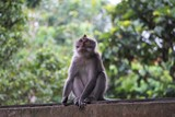 Monkey in a portrait sitting on a wall in front of green woods - 191179629