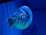 Nautilus in blue color - 191203009
