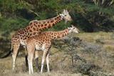Giraffen in Kenia - 191204075