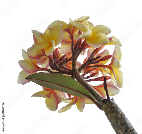Fotobehang Plumeria Plumeria in the white background.