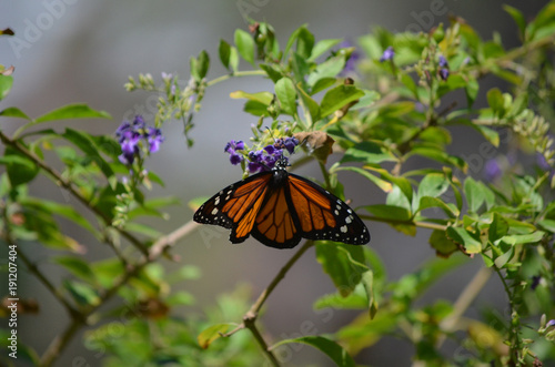 Fotobehang Vlinder Gorgeous Longwinged Orange Viceroy Buttterfly In Nature