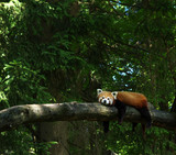 red panda in a tree - 191211888