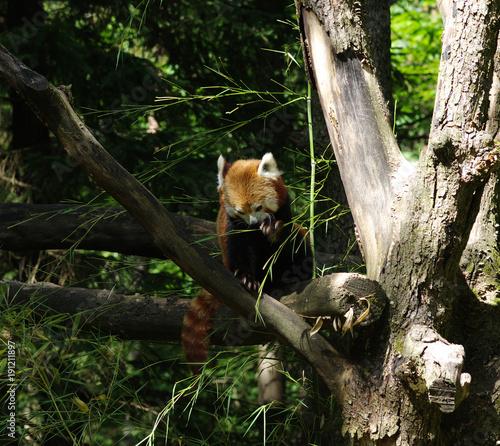 Foto Murales  red panda in a tree