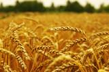 ears of wheat - 191212862