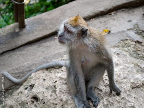Fotobehang Aap バトゥ洞窟の猿