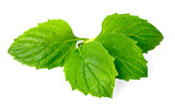 fresh herb, green peppermint isolated on white - 191217410