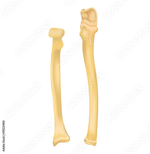 Radius and Ulna bone | Buy Photos | AP Images | DetailView