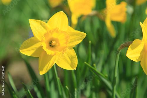 Sticker Gelbe Narzissen im Frühling