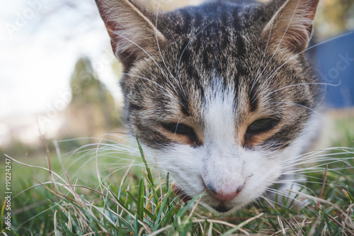 closeup of cat head eating something in grass outdoor shot Poster