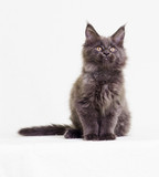 gray kitten of Maine Coon looks - 191238261